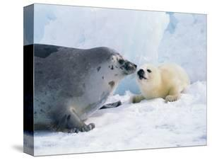 Harp seal mother and pup by Tom Brakefield