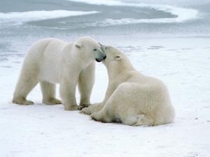 Polar bears by Tom Brakefield