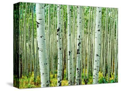 Bigtooth Aspen Trees in White River National Forest near Aspen, Colorado, USA