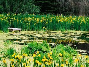 Daffodils Surround a Dock and Lake near Rosario Resort, San Juan Island, USA by Tom Haseltine