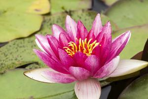 Water lilly bloom and lily pads in a pond. by Tom Haseltine