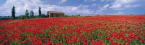 Tuscany, Field of Poppies by Tom Mackie