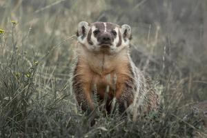 A Badger Looks Up from a Field of Grass and Sagebrush by Tom Murphy
