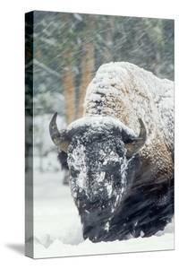 A Bison Forages During a Snow Storm by Tom Murphy