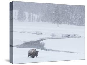 A Bison Forages Near a Stream During a Snow Storm by Tom Murphy
