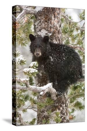 A Black Bear Cub Sits on a Snow Covered Tree Branch Looking Around