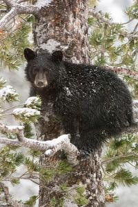 A Black Bear Cub Sits on a Snow Covered Tree Branch Looking Around by Tom Murphy