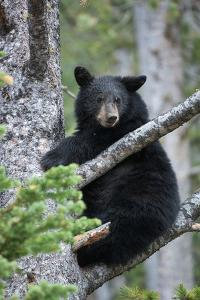 A Black Bear Sits on a Tree Branch Looking Around by Tom Murphy