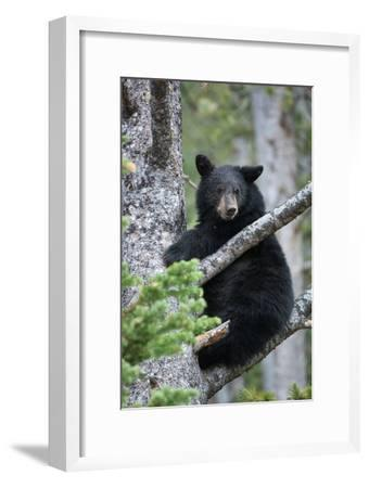 A Black Bear Sits on a Tree Branch Looking Around