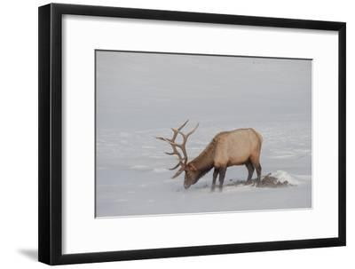 A Bull Elk Forages in a Bleak Snowy Landscape