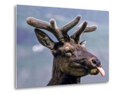 A Bull Elk with New Antler Growth Licks His Lips