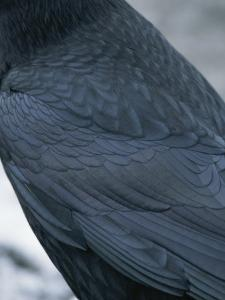 A Close View of the Back and Wing of a Raven by Tom Murphy