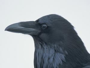 A Close View of the Head of a Raven, Corvus Species by Tom Murphy