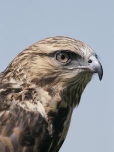 A Close View of the Head of a Rough-Legged Hawk, Buteo Lagopus by Tom Murphy