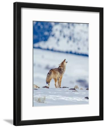 A Coyote Howls in a Winter Landscape