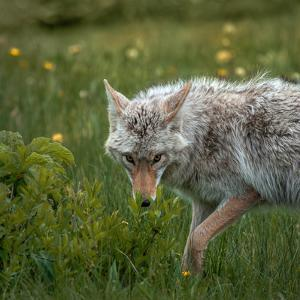 A Coyote Looks at the Camera Behind Bright Green Leaves by Tom Murphy