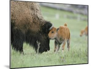 A Female Bison Stands Patiently as Her Young Calf Plays with Her Horns by Tom Murphy