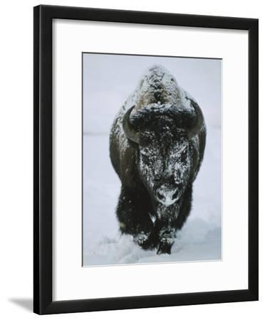 A Frost-Covered American Bison Bull Walks Through the Snow