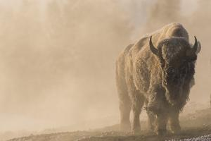 A Frost Covered Bison Stands in a Steamy Landscape by Tom Murphy