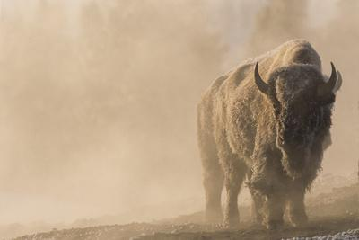 A Frost Covered Bison Stands in a Steamy Landscape