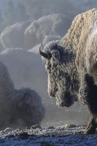 A Frost Covered Bison by Tom Murphy