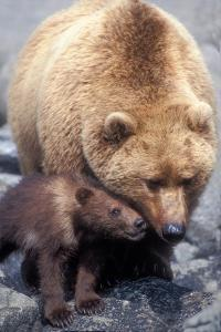A Grizzly Bear Cub Nuzzles its Mother by Tom Murphy
