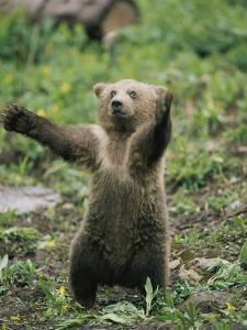 A Grizzly Bear Cub Stands with Arms Outstretched by Tom Murphy