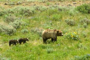 A Grizzly Bear Mother Followed by Her Two Cubs by Tom Murphy