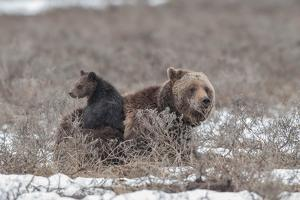 A Grizzly Cub Sits on its Mother, a Sow by Tom Murphy