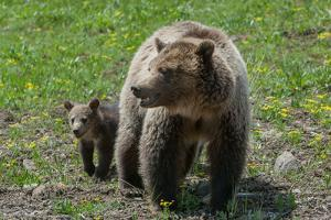 A Grizzly Sow and Cub Walking in Yellowstone National Park, Wyoming by Tom Murphy