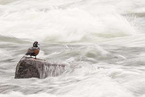 A Harlequin Duck on a Rock in the LeHardy Rapids by Tom Murphy