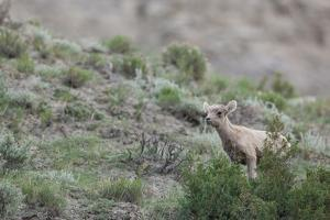 A Lamb Stands on a Sage-Covered Hillside by Tom Murphy