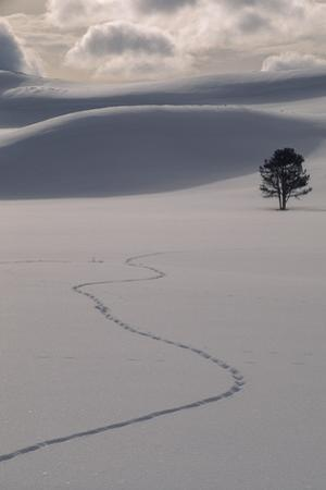 A Lone Lodgepole Pine Tree and Coyote Tracks in Fresh Snow by Tom Murphy