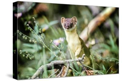 A Long Tailed Weasel in its Brown and Tan Summer Coat