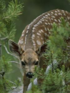 A Mule Deer Fawn Peeks Through Branches of an Evergreen Tree by Tom Murphy