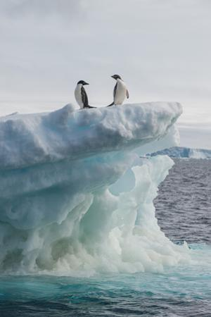 A Pair of Adelie Penguins Stand on the Edge of an Iceberg by Tom Murphy