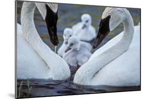 A Pair of Adult Trumpeter Swans Cared for their Newly Hatched Cygnets by Tom Murphy