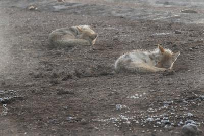 A Pair of Coyotes, Canis Latrans, Sleeping in Yellowstone National Park