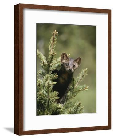 A Pine Marten (Martes Martes) Watches from the Top of a Tree