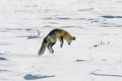 A Red Fox Pounces onto Mice or Voles Hidden under the Snow by Tom Murphy