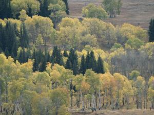 A Stand of Aspen and Evergreen Trees by Tom Murphy