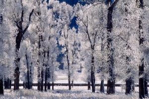 A Stand of Cottonwood Trees, Populus Deltoides, in Winter by Tom Murphy