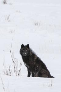 A Wolf Waiting in Snow by Tom Murphy