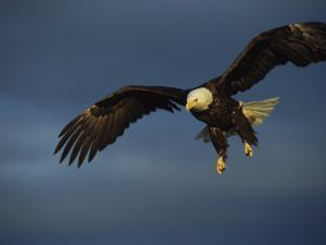 American Bald Eagle in Flight by Tom Murphy