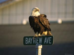 American Bald Eagle Perches on a Street Sign by Tom Murphy
