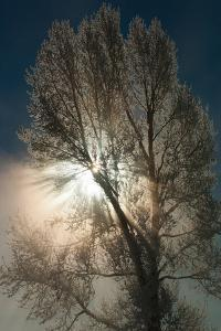 An Abstract View of a Cottonwood Tree and Misty Sunlight at Mammoth Hot Springs by Tom Murphy
