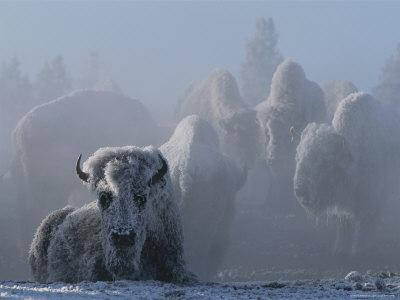 An American Bison Covered in Ice Rests on the Ground