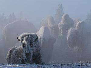 An American Bison Covered in Ice Rests on the Ground by Tom Murphy