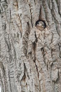 An American Kestrel Chick Peeks Out from its Nest Hole by Tom Murphy