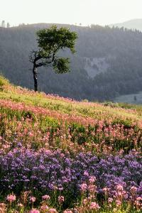 An Aspen Tree Above a Field of Fireweed, a Member of the Evening Primrose Family by Tom Murphy